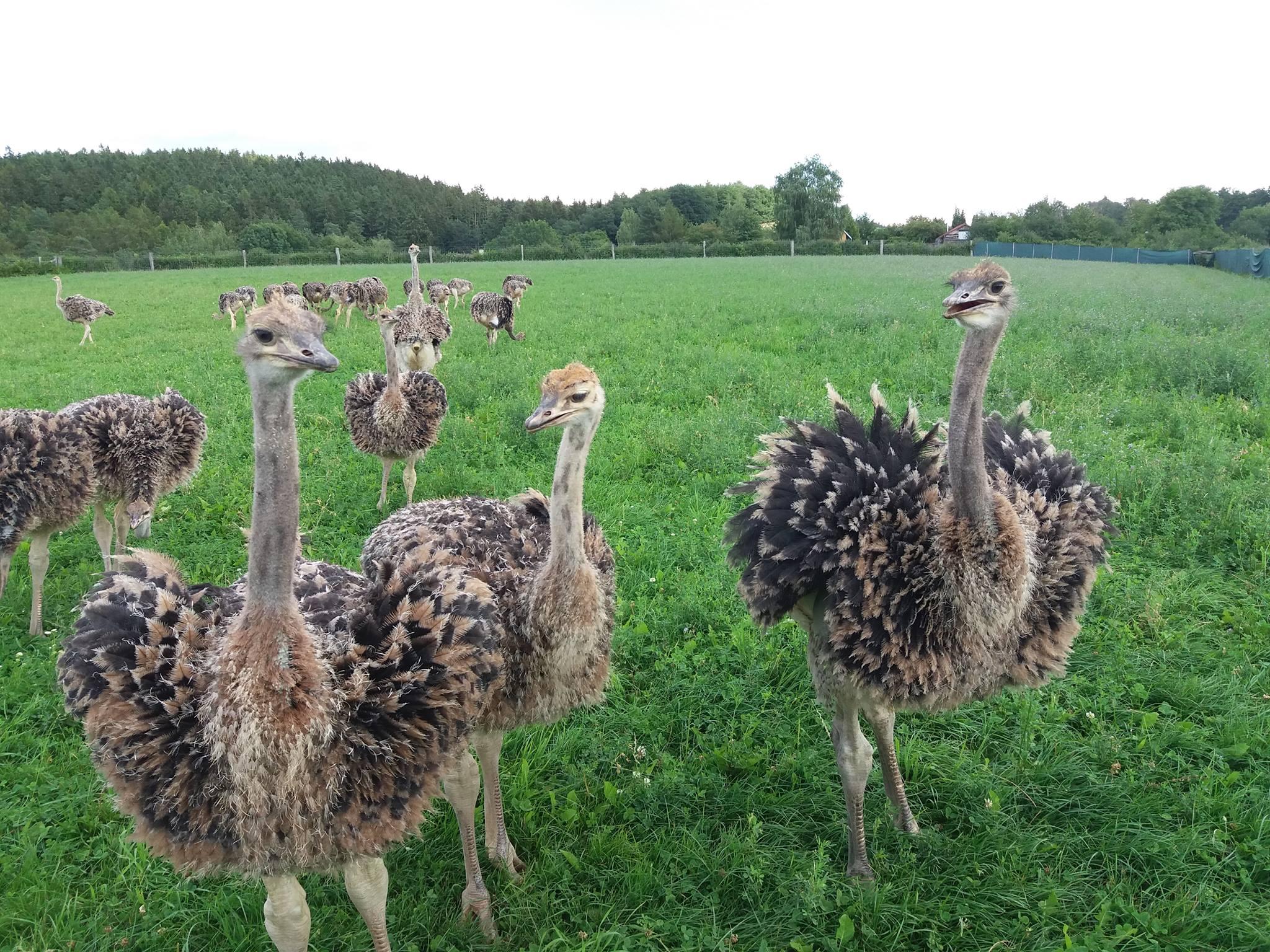 Страусиная ферма в Чехии